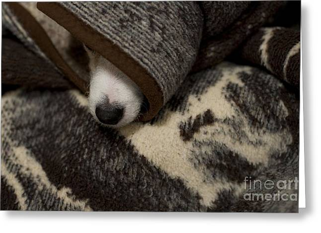 Dog Hiding Under Blankets Greeting Card by Jim Corwin