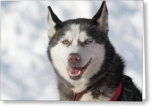 Dog Sled Races Are A Popular Winter Greeting Card by Richard Wright