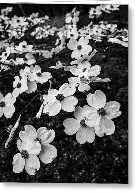 Greeting Card featuring the photograph Dogwoods by Wayne Meyer