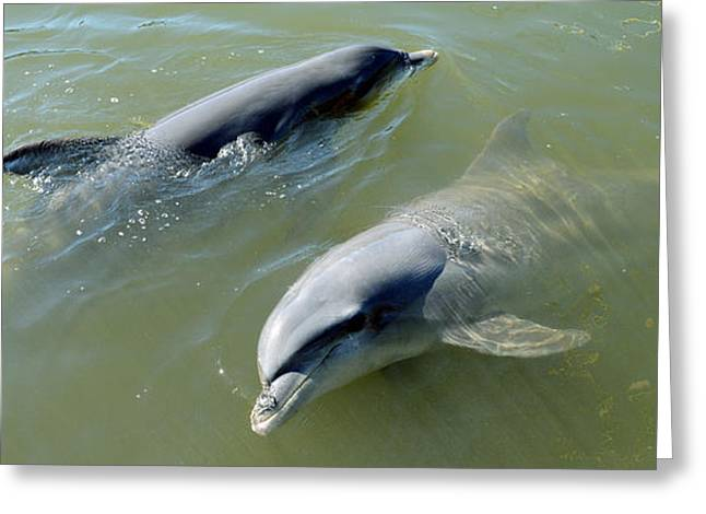 Dolphins In The Sea, Varadero, Matanzas Greeting Card by Panoramic Images