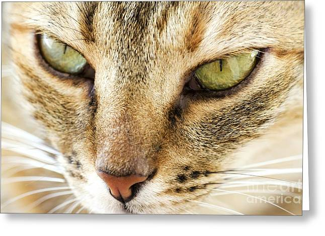 Domestic Cat Greeting Card
