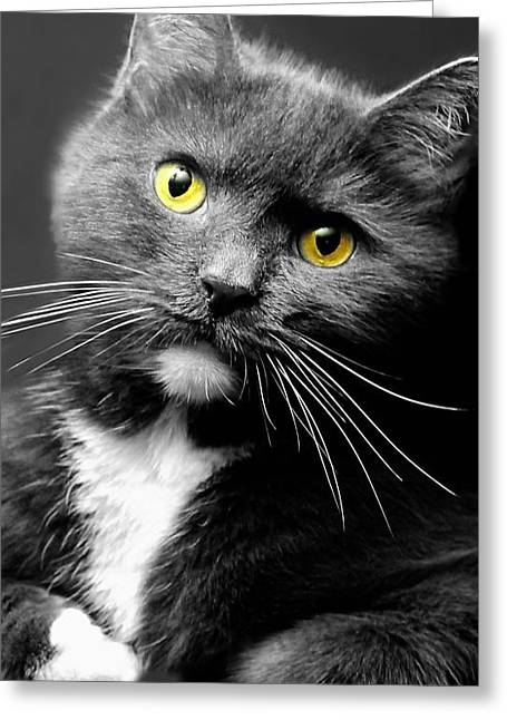 Domestic Gray And White Short Hair Greeting Card by Diana Angstadt