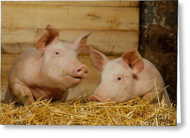 Domestic Pigs Greeting Card by Hans Reinhard