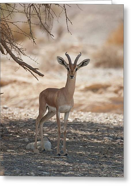 Dorcas Gazelle (gazella Dorcas) Greeting Card by Photostock-israel