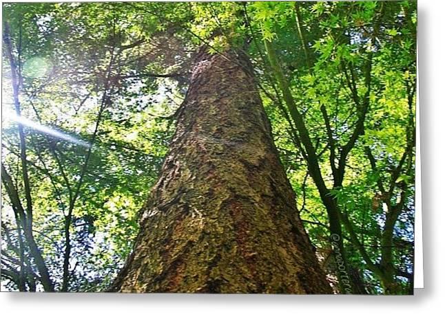 Douglas Fir Tree Rising Greeting Card