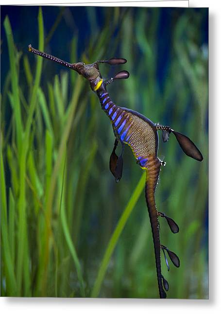 Dragon Seahorse Greeting Card by Diego Re