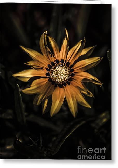 Dramatic Yellow Gazania Flower In Dark Shadows Greeting Card