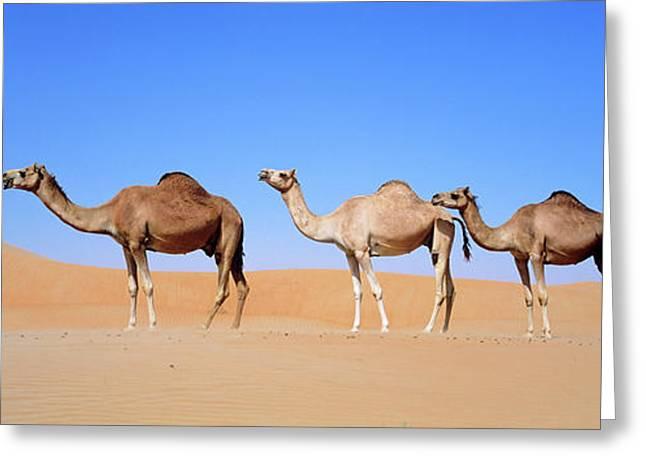 Dromedary Camel (camelus Dromedarius Greeting Card