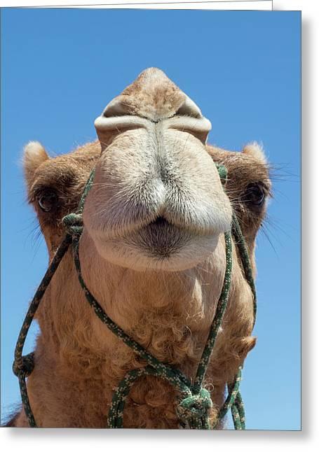 Dromedary Camel Greeting Card