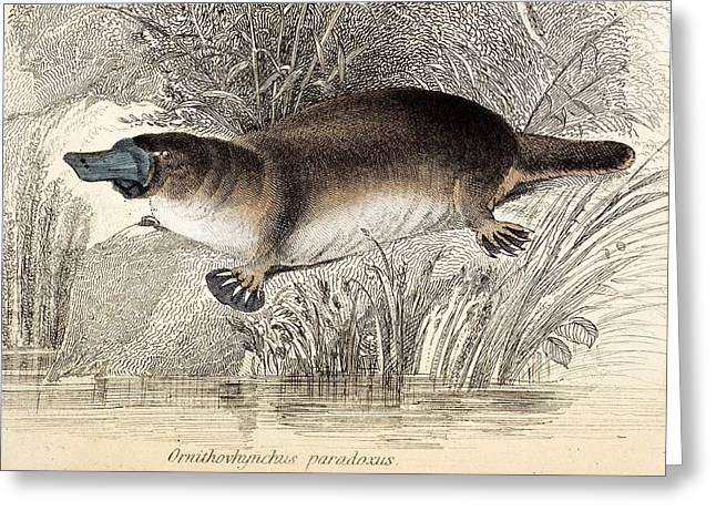 Duck-billed Platypus Greeting Card