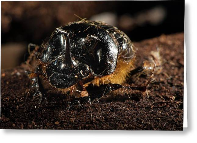 Dung Beetle Greeting Card by Philippe Psaila