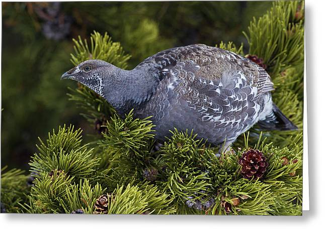 Dusky (blue) Grouse Greeting Card by Ken Archer
