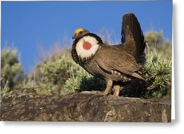 Dusky Grouse, Courtship Display Greeting Card by Ken Archer