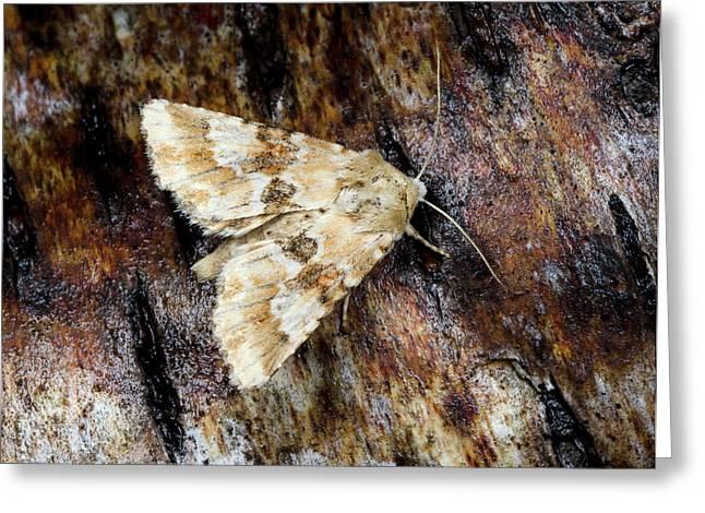 Dusky Sallow Moth Greeting Card