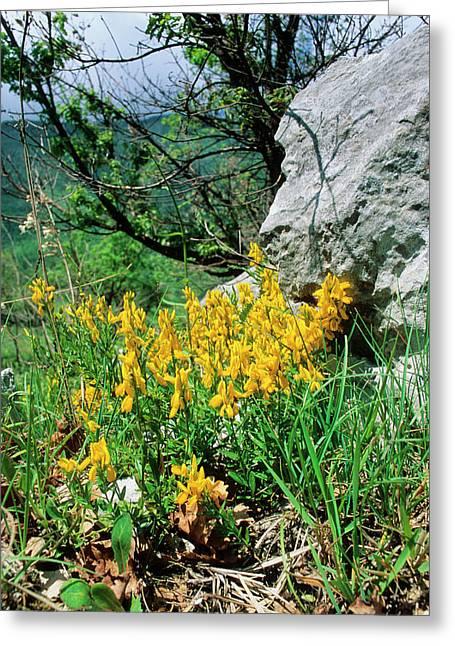Dyer's Greenweed (genista Tinctoria) Greeting Card