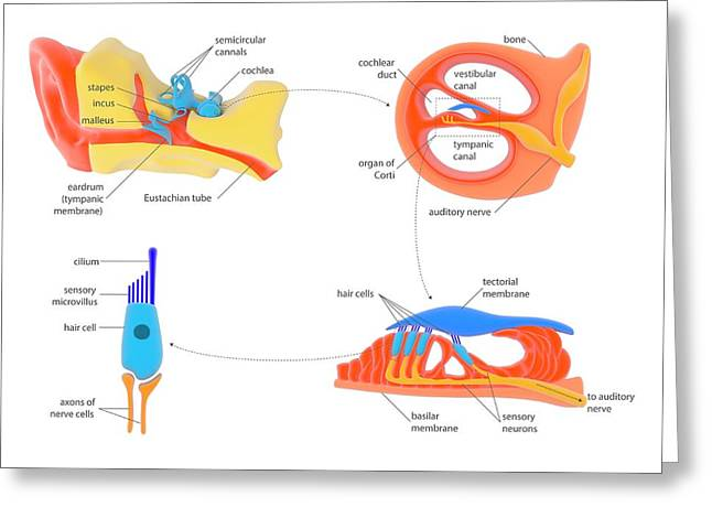 Ear And Cochlear Anatomy Greeting Card by Science Photo Library