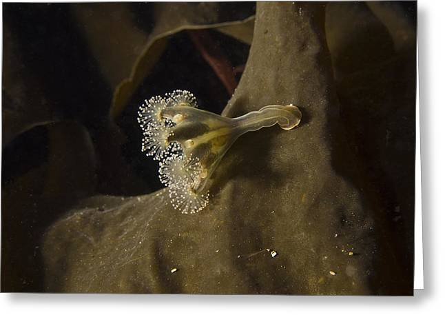 Eared Stalked Jellyfish Greeting Card