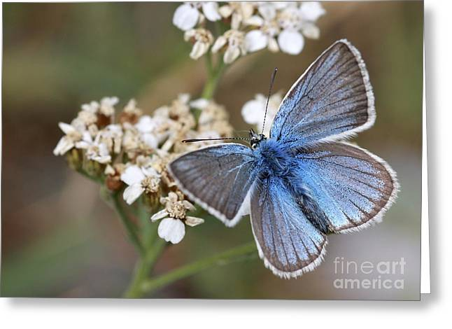 Eastern Baton Blue  Greeting Card by Amos Dor
