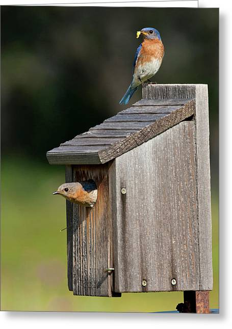 Eastern Bluebird (sialia Sialis Greeting Card by Larry Ditto