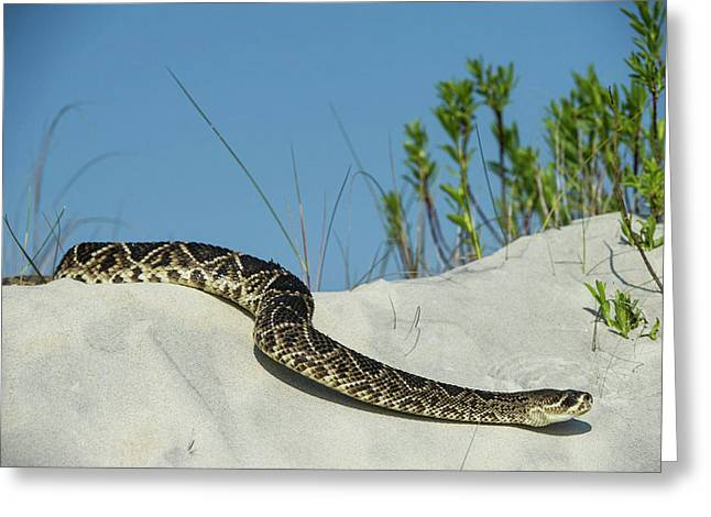 Eastern Diamondback Rattlesnake Greeting Card