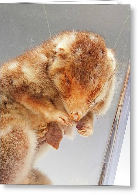 Eastern Quoll Greeting Card by Ucl, Grant Museum Of Zoology