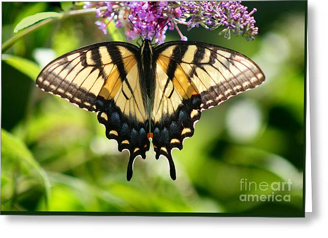Eastern Tiger Swallowtail Butterfly Greeting Card by Karen Adams