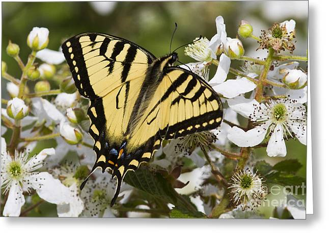 Eastern Tiger Swallowtail Greeting Card by Linda Freshwaters Arndt