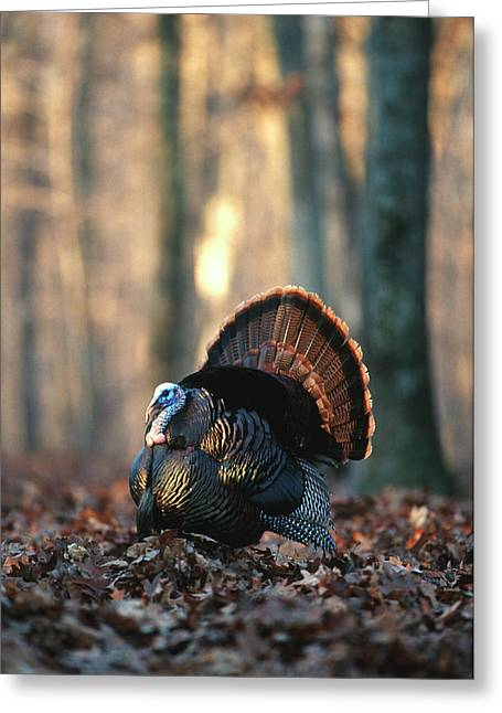 Eastern Wild Turkey (meleagris Greeting Card by Richard and Susan Day