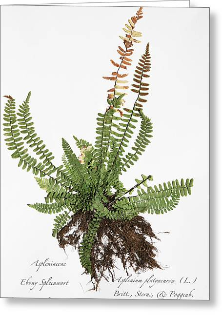 Ebony Spleenwort Greeting Card