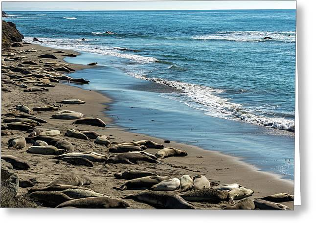 Elephant Seals On The Beach, Piedras Greeting Card