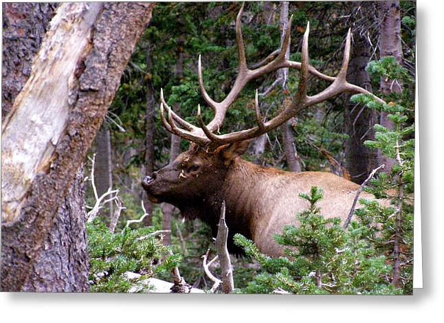 Elk With A Nice Rack Greeting Card