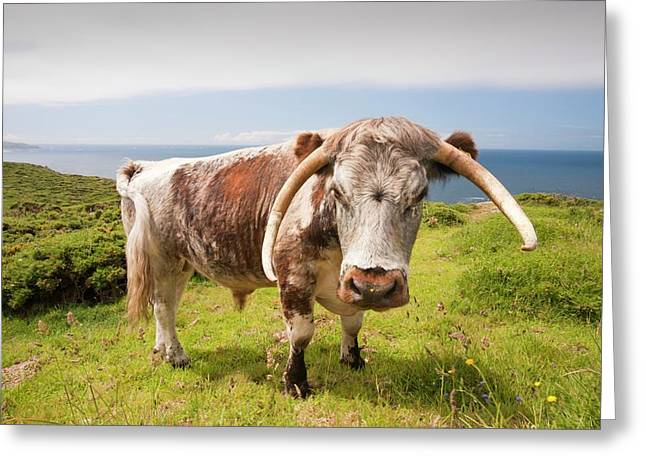 English Long Horn Cattle Greeting Card
