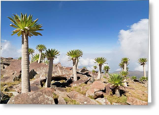 Ethiopian Giant Lobelia (lobelia Greeting Card by Martin Zwick