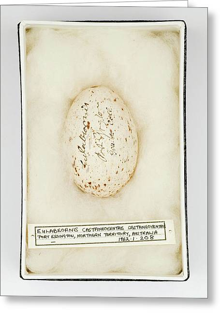 Eulabeornis Castaneoventris Egg Greeting Card by Natural History Museum, London