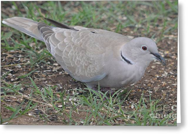 Eurasian Collared Dove  Greeting Card by Ruth  Housley