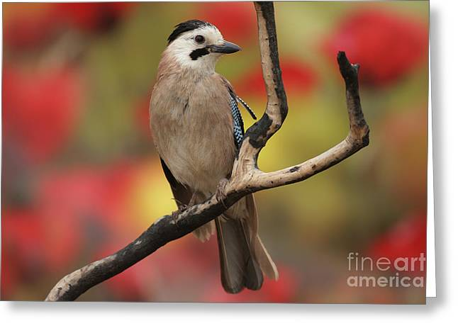 Eurasian Jay Garrulus Glandarius Greeting Card by Alon Meir