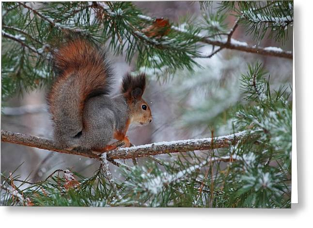 Eurasian Red Squirrel Greeting Card
