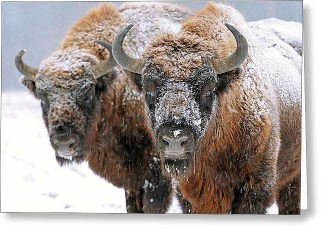 European Bison In Snow Greeting Card