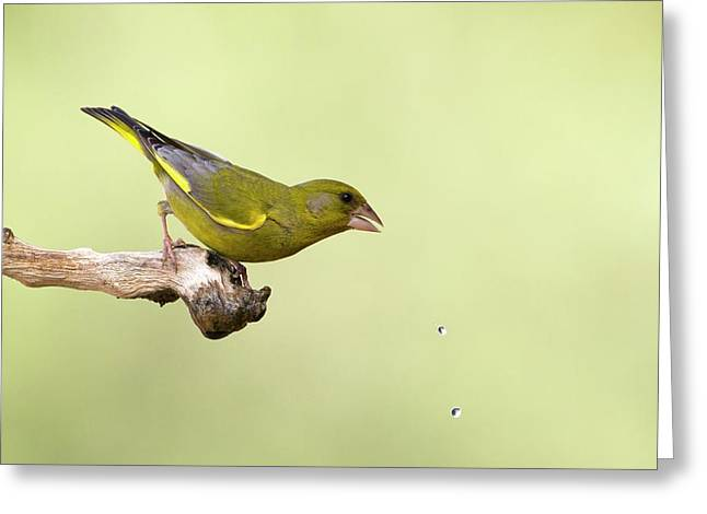 European Greenfinch Carduelis Chloris Greeting Card