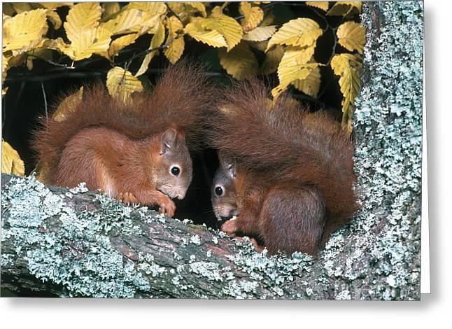 European Red Squirrels Greeting Card by Hans Reinhard