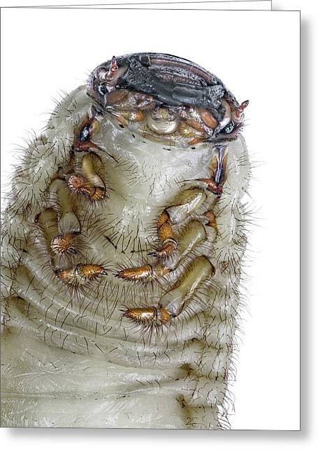 European Rhinoceros Beetle Larva Greeting Card
