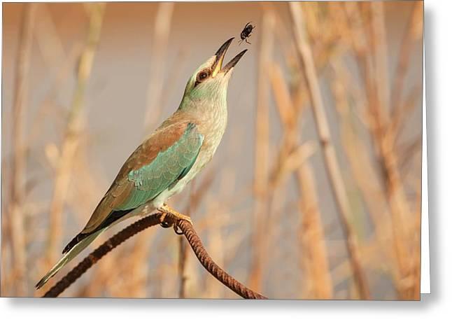European Roller (coracias Garrulus) Greeting Card by Photostock-israel