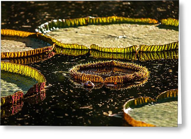 Evening Light On The Leaves Of Victoria Regia. Royal Botanical Garden  In Mauritius Greeting Card