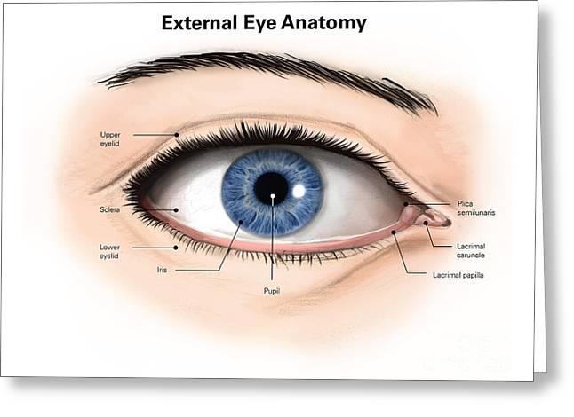 External Anatomy Of The Human Eye Greeting Card