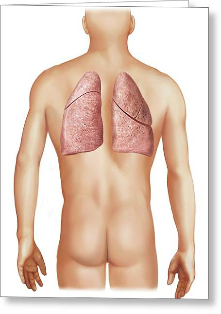External Projection Of The Lungs Greeting Card by Asklepios Medical Atlas