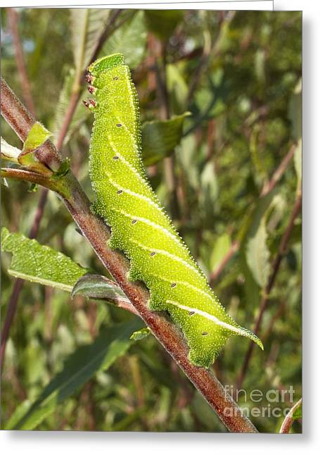 Eyed Hawk-moth Caterpillar Greeting Card