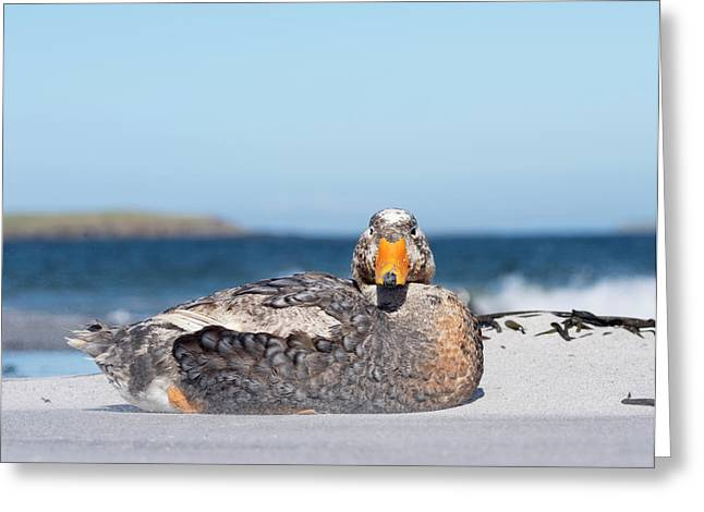 Falkland Flightless Steamer Duck Greeting Card by Martin Zwick