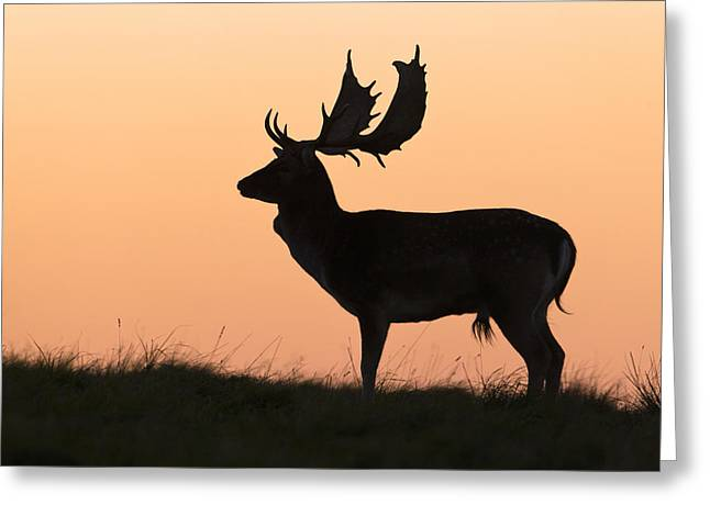 Fallow Deer Buck At Sunset Denmark Greeting Card by Duncan Usher
