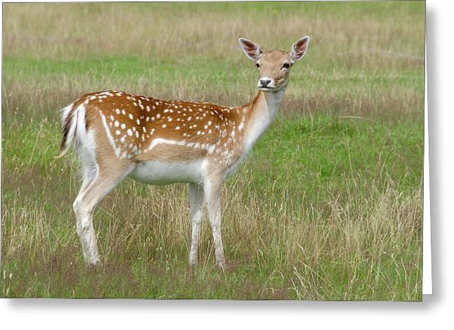Fallow Deer Doe Greeting Card