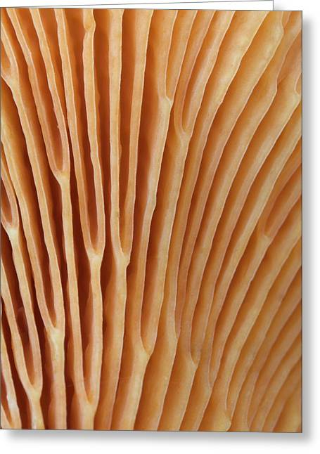 False Chanterelle Gills Abstract Greeting Card